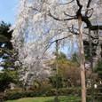 坂本龍馬・中岡慎太郎像北の桜