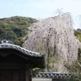 高台寺唐門からみた枝垂れ桜