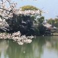 大沢池の桜枝
