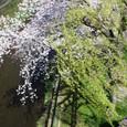 天神川(北)柳桜をこきまぜて