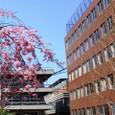 葛野の桜(笑)