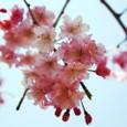 葛野の桜姫