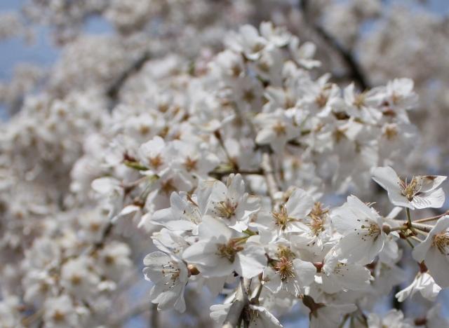 円山公園の桜姫