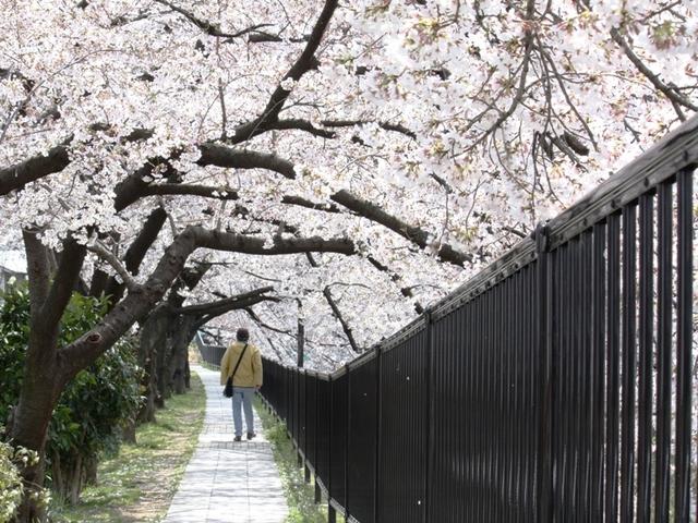 桜トンネル行く人ぞ