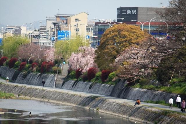 鴨川東岸の柳と桜