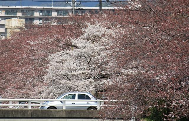 天神川(北)の桜様子
