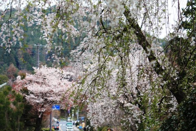 山越えの佐野桜