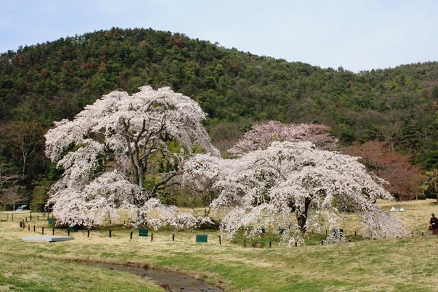 平安郷:右一号桜、中二号桜、遍照寺山