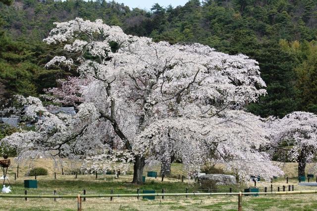平安郷:枝垂れ桜全姿
