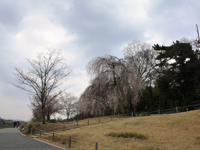 賀茂大橋から見た鴨川西岸桜