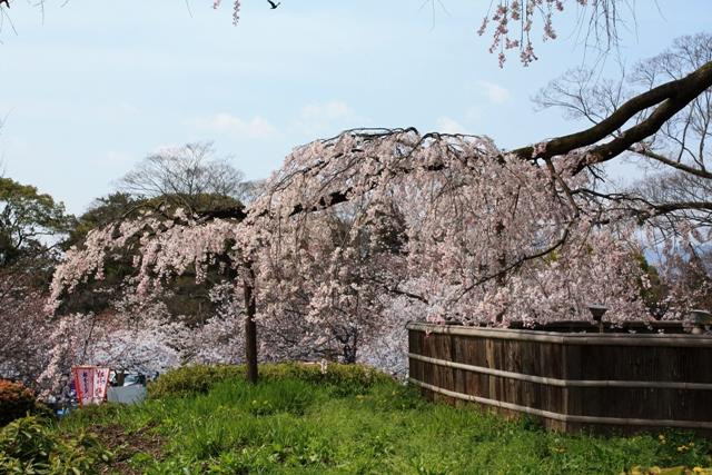 祇園枝垂れ桜の下枝