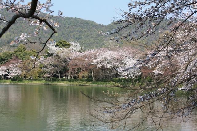 大沢池東岸の堤桜
