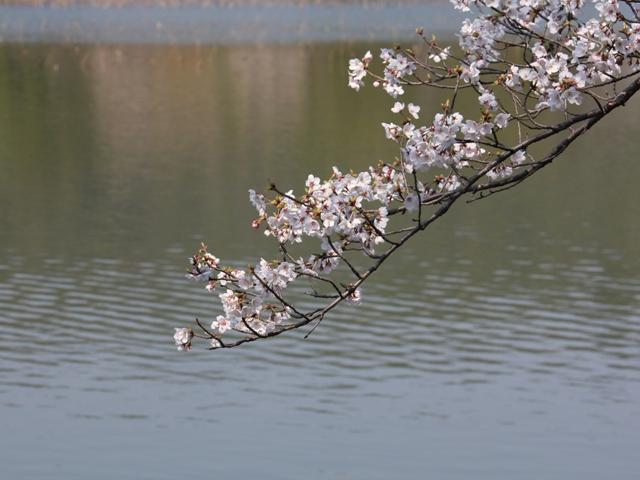 大沢池:堤の桜