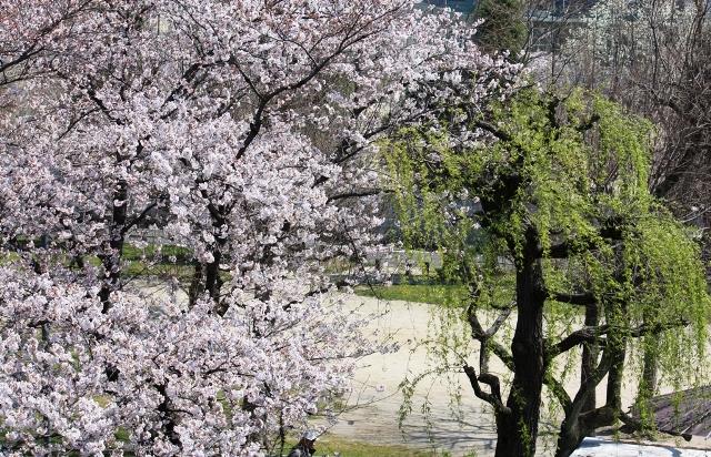 天神川(北)桜と柳