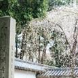 2011醍醐寺桜:5821