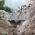 2011醍醐寺桜:5825