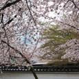 2011醍醐寺桜:5830