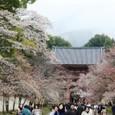 2011醍醐寺桜:5834