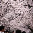 2011醍醐寺桜:5840