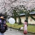2011醍醐寺桜:5846