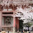 2011醍醐寺桜:5868