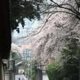 2011醍醐寺桜:5869
