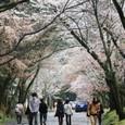 2011醍醐寺桜:5870