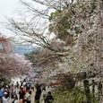 2011醍醐寺桜:5878
