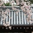 2011醍醐寺桜:5897