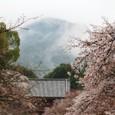 2011醍醐寺桜:5898