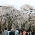 2011御所桜:6017