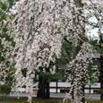 2011御所桜:6021