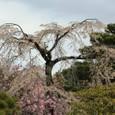 2011御所桜:6025