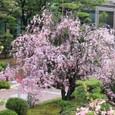 2011葛野桜:6050