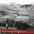2011植物園桜:6061