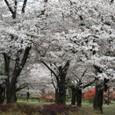2011植物園桜:6070