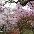 2011植物園桜:6096