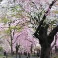 2011植物園桜:6098