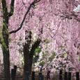2011植物園桜:6099