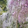 2011植物園桜:6101