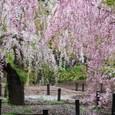 2011植物園桜:6109