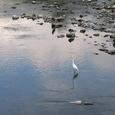 鴨川と鳥たち