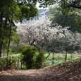 桜井茶臼山:後円部麓の桜