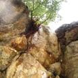 岩に生えた樹木(1)