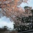 たそがれ桜