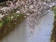 天神川桜十号