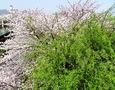 柳桜をこき混ぜて