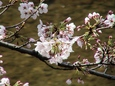 天神川桜姫
