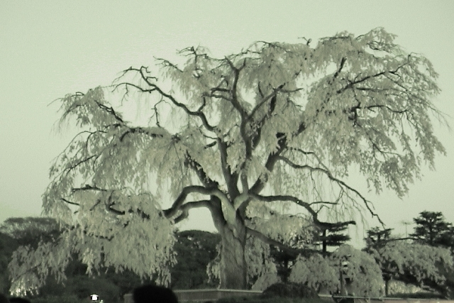 枝垂桜の妖精