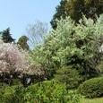 豪華絢爛桜(1)